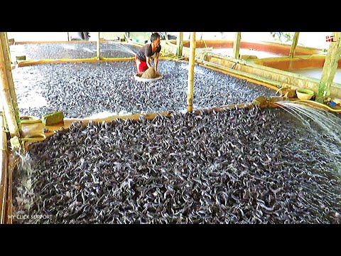 Catfish Feeding Times With Floating Feed Grain Based Diet || Catfish Farming In Aquaculture