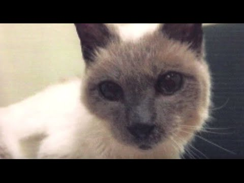 30-Year-Old Siamese Cat is World's Oldest by Guinness