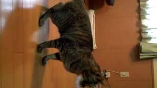 今日カインズホームで猫のおもちゃを買ってみた。そしたら特にママがす...