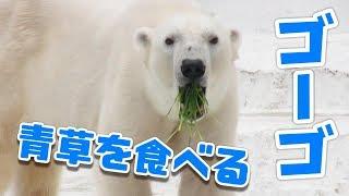 青草を食べるゴーゴ Гоу-гоу белых медведей едят зеленую траву