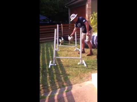 Cardi Corgi dog agility