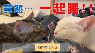 【豆鬥榮 EP12】 死對頭貓咪睡一起 有可能嗎?