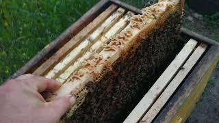 Пчелы 2 мая Семья на 6 рамках Смотрим расплод
