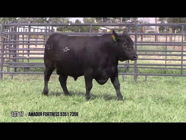Mid Valley Bull Sale Lot 17