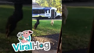 Dogs Excited to Ride the Doggie School Bus || ViralHog