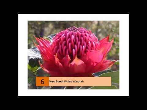New South Wales Waratah Pictures Galleryиз YouTube · Длительность: 1 мин9 с