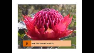 new south wales waratah facts