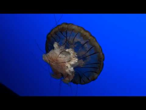 Sea Nettle Jelly Fish - Ripley's Aquarium Of The Smokies
