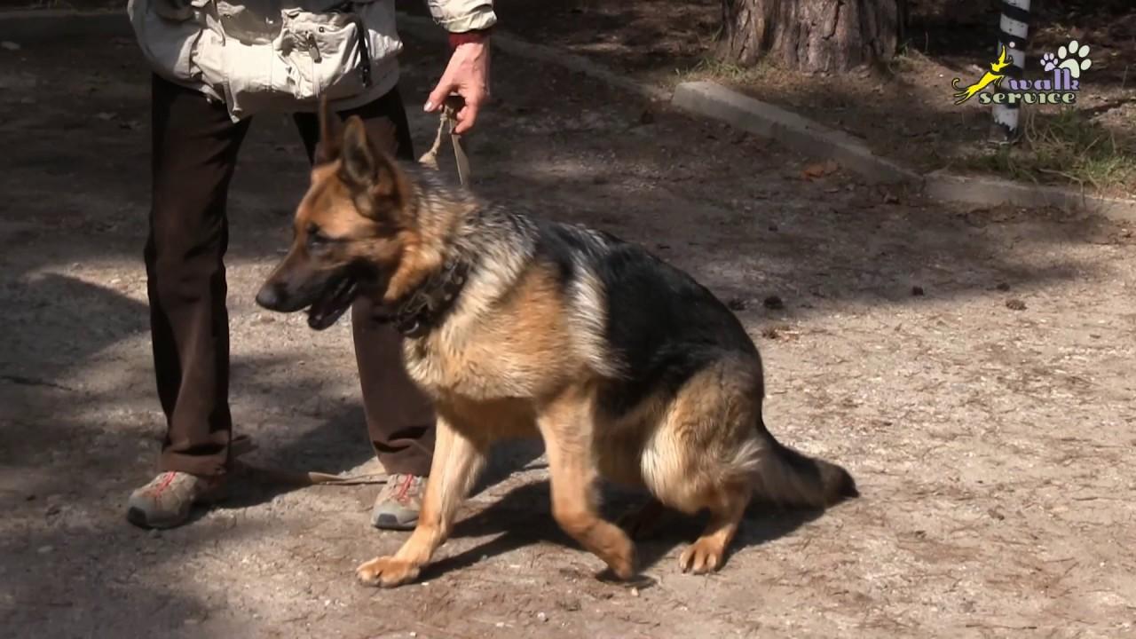 смотреть щенков немецкой овчарки
