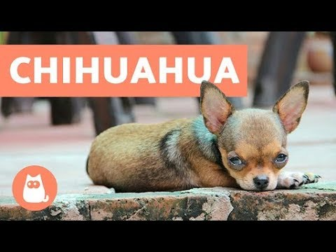 10-facts-about-chihuahuas-you-need-to-know