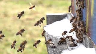 Honeybees are ALIVE temps soar to 50 Degrees F and pollen is coming in SLOW MOTION thumbnail