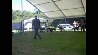 Dobermann Club Open Show 2012 Novice Dog Class