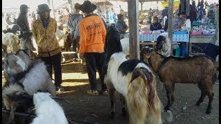 Download Video Persekongkolan Blantik Kambing - Pasar Kambing Purwantoro Wonogiri MP3 3GP MP4