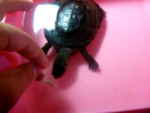 Вопрос: Чем кормить маленькую речную черепаху?