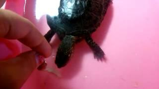Кормление болотной черепахи