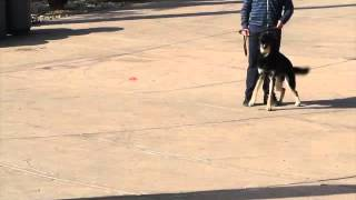 Aggressive German Shepherd On A Unleash.training For Dogs With Separation San Diego