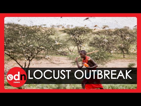 'Biblical' Locust Plague With Swarms the Size of Cities Devastates East Africa