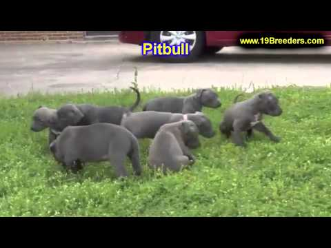 Pitbull, Puppies, For, Sale, In, Washington DC, Georgetown, Alexandria, District of Columbia