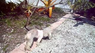 Florida Poodle Rescue--kate Moss The Blind And Deaf Toy Poodle Investigating The Backyard