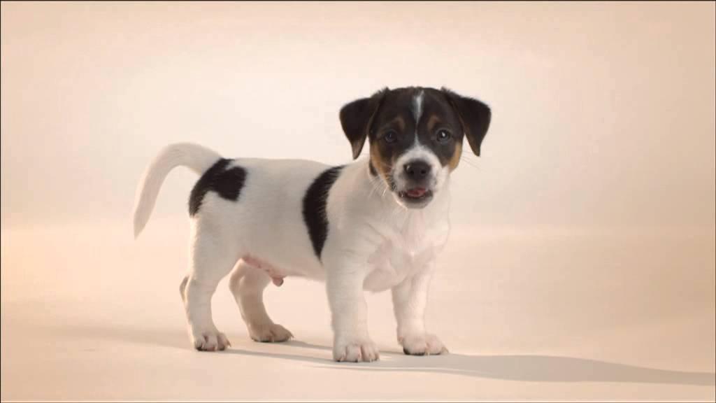 Cachorros Perros Raza Pequeña Youtube