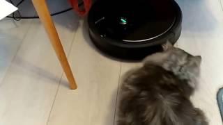 Робот-пылесос боится кота!