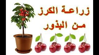 زراعة الكرز من البذور