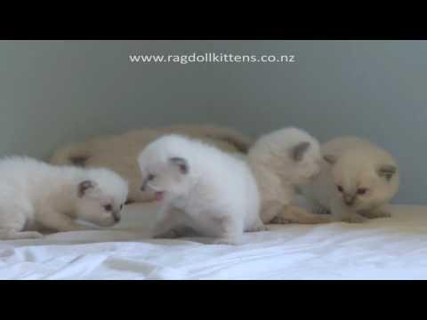 Truly Scrumptious Ragdoll Kittens ~ Baby Kittens