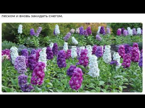Левкои Красивые растения для дома и сада,