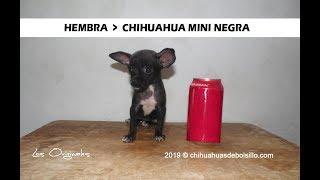 Chihuahua Mini Toy Negrita en Venta - chihuahuasdebolsillo.com