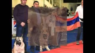 Армянский волкодав Гампр-собаки идущие на волков Armenian wolfhound