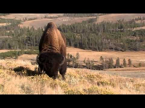 Big Bison Bulls - Yellowstone NP