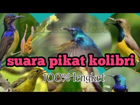 Suara Untuk Pikat Kolibri Di Jamin Langsung Lengket Buktikan