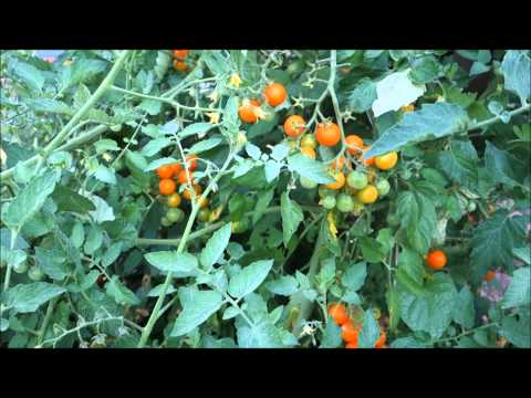 "Mid-Summer Organic Garden Tour 2015: An Update on ""Jungle"": Indeterminate Sun Gold Cherry Tomatoes"