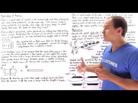 Myelination and Saltatory Conduction