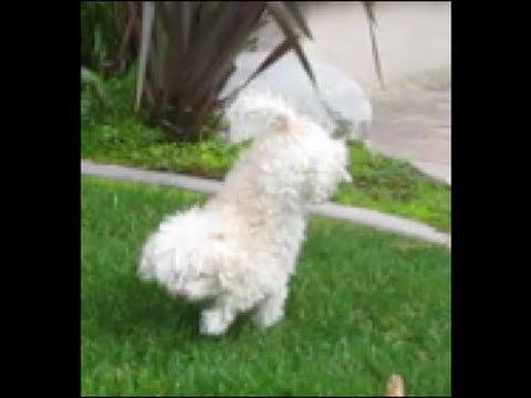Dog Doing Handstand (AMAZING footage!)