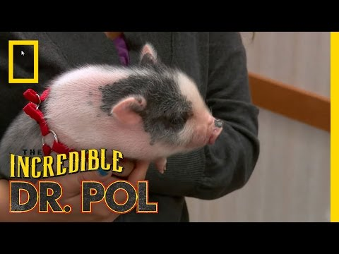 Feisty Squealer | The Incredible Dr. Pol