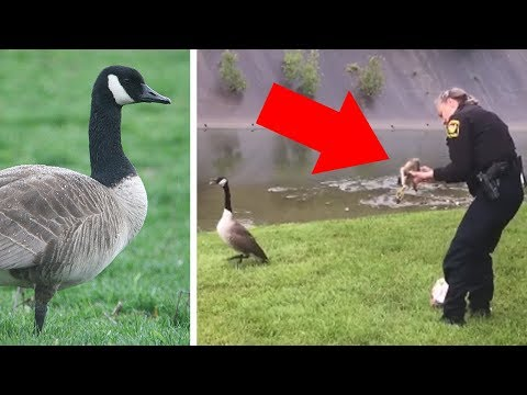 Download Youtube: Goose Won't Stop Pecking At Cops' Patrol Car Until They Realize Something Is Very Wrong