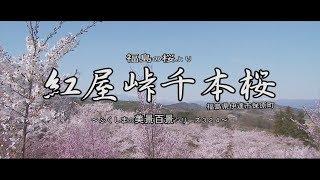 福島の桜より ~伊達市 紅屋峠千本桜~