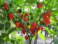 How to Prune Giant Pepper Plants !! MEGA Prunning series !!