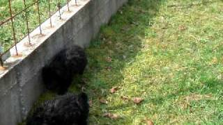 Croatian Sheepdog Puppies - Bartolovi Dvori, 21.3.2010