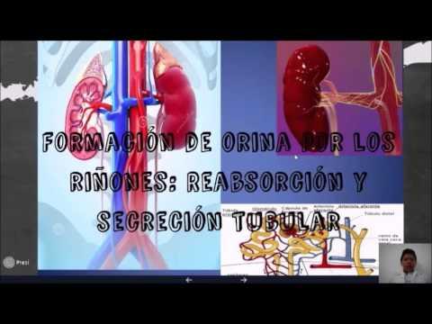 Sistema Urinario Anatomía y Fisiología II - YouTube