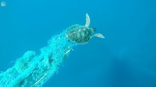 Struggling Sea Turtle Saved From Fish Netting In The Maldives