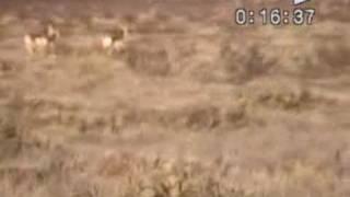 Berrendos rancho La Fortuna Ocampo Coahuila