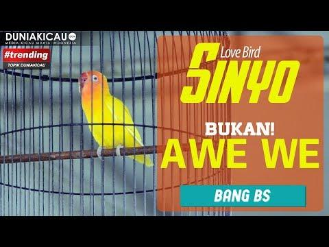 BUKAN AWEWE, INI SINYO! PENDATANG BARU Mirip Love Bird Awewe : PIALA AIRIN CUP 1