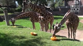 ハロウィンまで秒読み開始!動物園ではカボチャつぶしでストレス解消しちゃうらしい