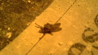 Pigeon Louse Fly