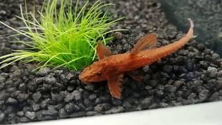 ROTE HEXENWELSE & ENDER-GUPPYS   Die ersten FISCHE ins Aquarium 🐟😍 Cranket VLog