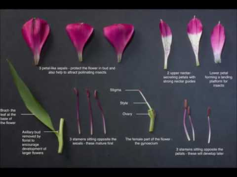 A Level Core Practicals Flower Dissection Youtube