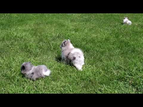 Pomeranian Puppies For Sale Leon King
