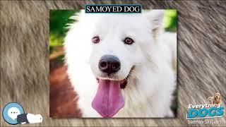 Samoyed dog  Everything Dog Breeds